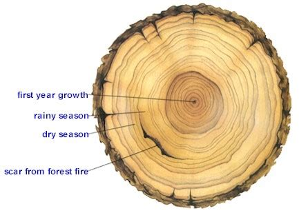 tree cross section diagram meaning how do you say that tree rings are will be