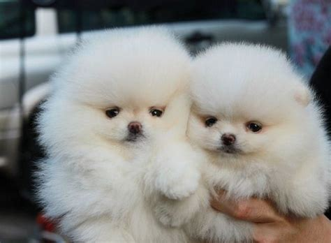 teacup pomeranian puppies for sale in pa pomeranian puppies for sale in pa puppies