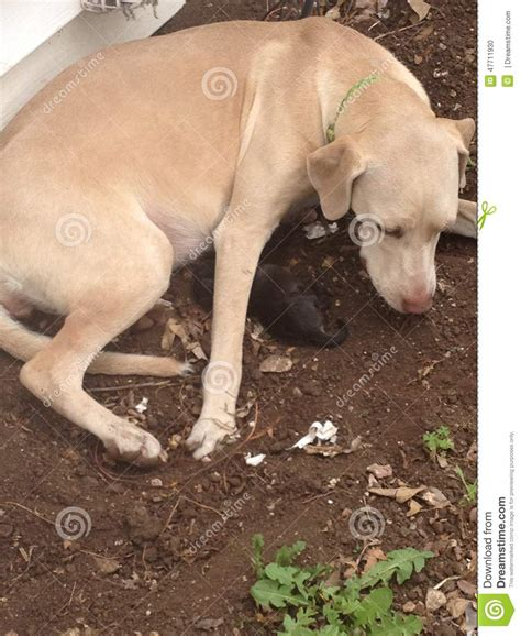 puppies being born puppy of six being born to this weimarner lab mix stock photo image 47711930