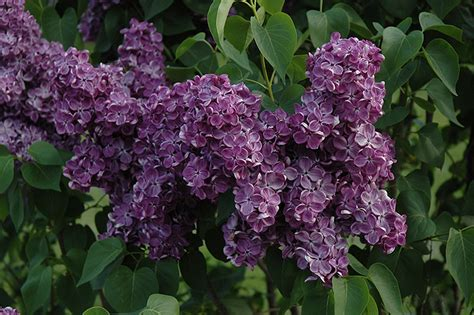 yankee doodle flower yankee doodle lilac syringa vulgaris yankee doodle in