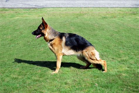 german shepherd dogs for sale german shepherd puppies for sale dundee angus pets4homes