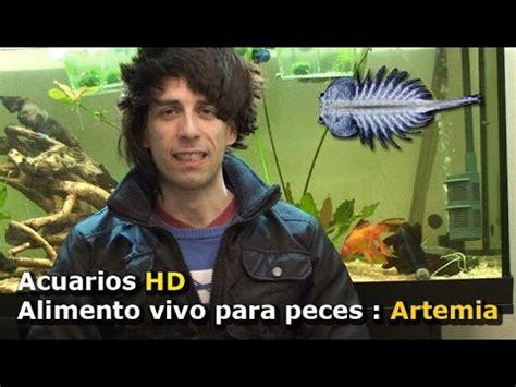 alimento vivo  peces eclosionar artemia youtube