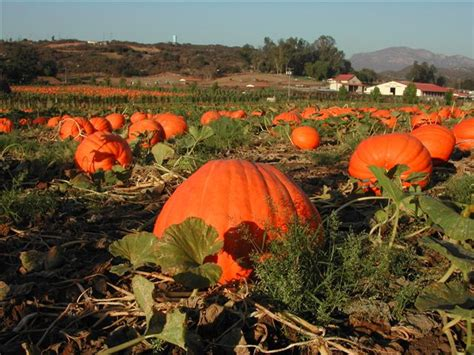 friendly pumpkin patch near me county san diego neighborhood guide valley center ync