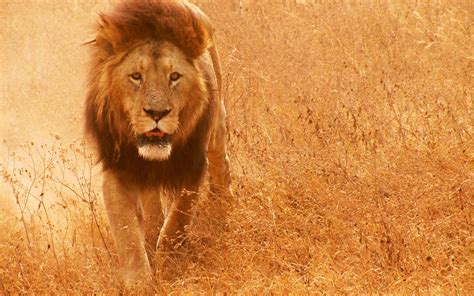 wallpaper hd of lion lion wallpapers wallpaper cave