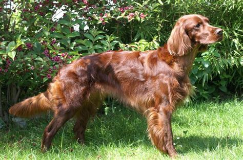 setter dog synonym irish setter dog breed history and some interesting facts