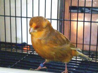 Meracik Pakan Branjangan cara meracik pakan burung kenari supaya gacor
