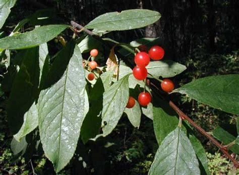 cherry tree species cherry plum species common trees of the pacific northwest