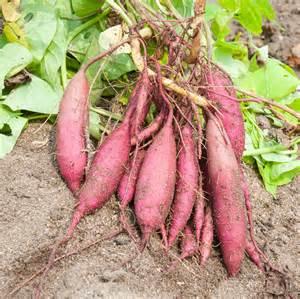 growing sweet potatoes how to grow sweet potatoes