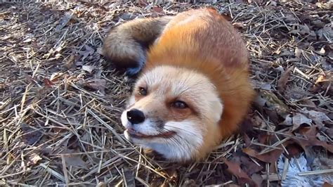how cute pet foxes steal your heart and arctic fox sound so