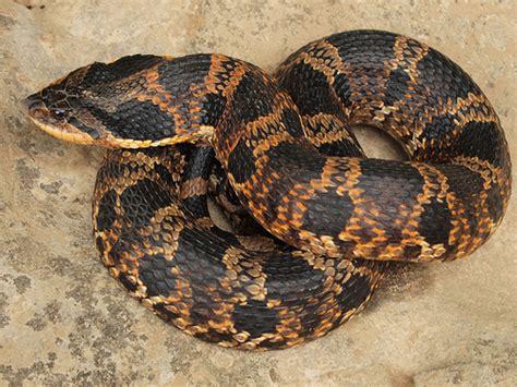 eastern hognose snake southern indiana 3 flickr photo