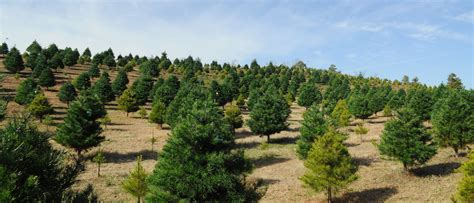 tree selection and pricing beavers christmas tree farm
