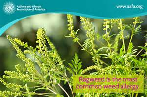 Allergies Tx Image Gallery Ragweed Mix