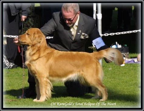 abelard golden retrievers karagold golden retrievers florida