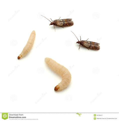 White Worms In Pantry by Indian Meal Moth Royalty Free Stock Photography Image