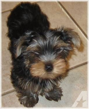 yorkie puppies for adoption in va akc terrier puppy for adoption 12 weeks for sale in chesapeake
