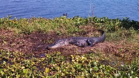 airboat wilderness rides pic3 picture of airboat wilderness rides vero beach