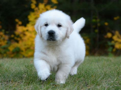 platinum golden retrievers platinum goldens golden retriever puppies for sale