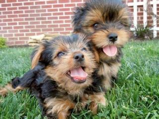teacup yorkies for sale in fort worth charming yorkie puppies for caring homes dallas for sale dallas fort worth pets dogs