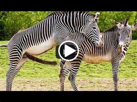 animal mating with animal mating zebra elephant deer cat mating