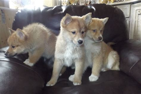 husky mixed with pomeranian puppies for sale pomeranian husky mix puppies for sale in breeds picture