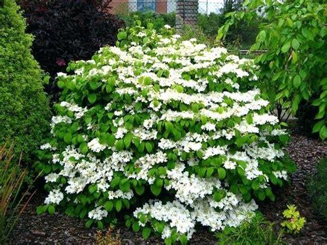 dwarf flowering shrubs itsfashion club