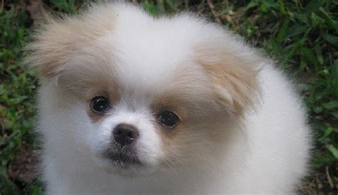 japanese chin x pomeranian pin chineranian japanese chin and pomeranian mix pictures on
