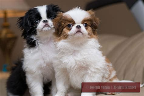 japanese chins japanese chin puppies breeding dogs japanese chin puppies alegria florida