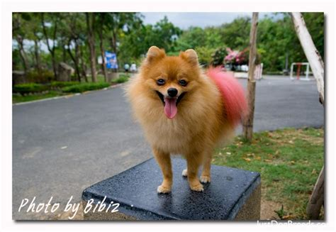 how to breed pomeranian how to a pomeranian breeds picture
