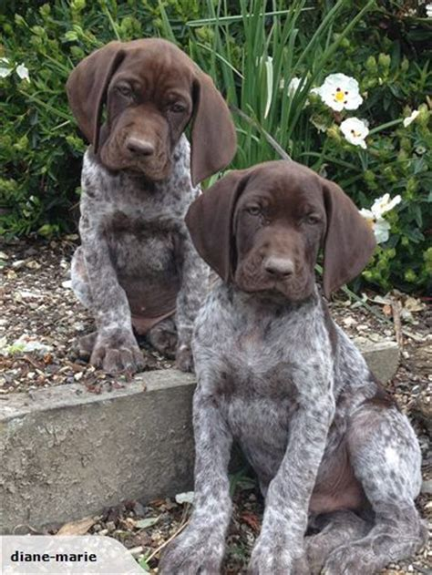 gsp puppy german shorthaired pointer puppy dogs