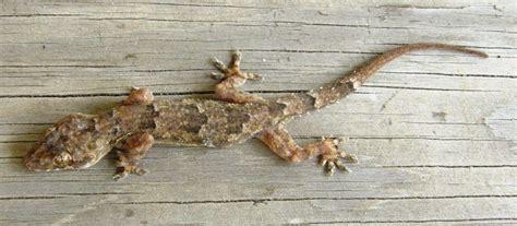 tropical house gecko virgin birth of a lizard lemon bay conservancy