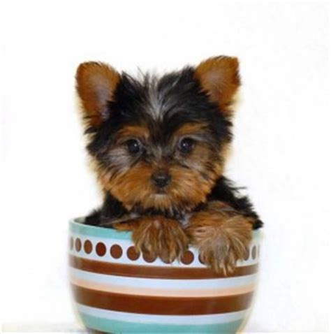 teacup yorkie 300 teacup yorkies information care and facts