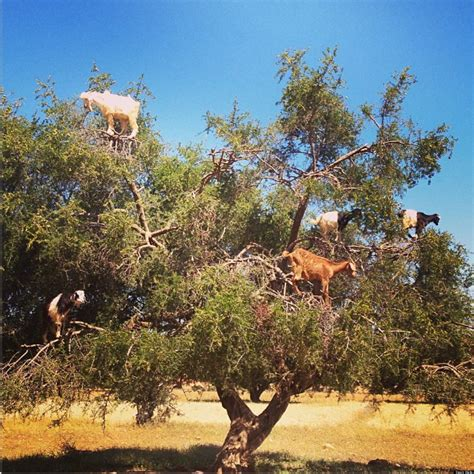 tree in goats standing in trees zomg huffpost