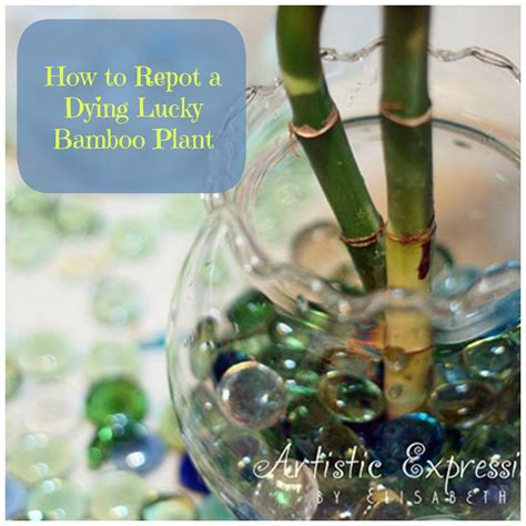 how to save a dying plant how to repot a dying lucky bamboo plant tutorial