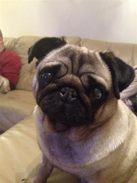 pugs to adopt uk 10329230 10203747128497891 8428368076235931618 n the pug welfare rescue