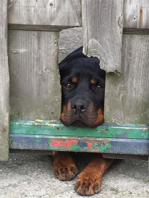 rottweiler sad 20 things all rottweiler owners must never forget the last one brought me to tears