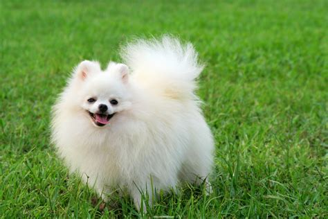 white and pomeranian pomeranian temperament exercise and grooming inspirationseek