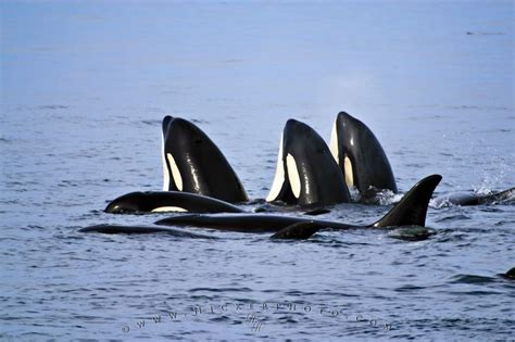 Orca Background Check Family Orcas Killer Whales Hopping Photo Information
