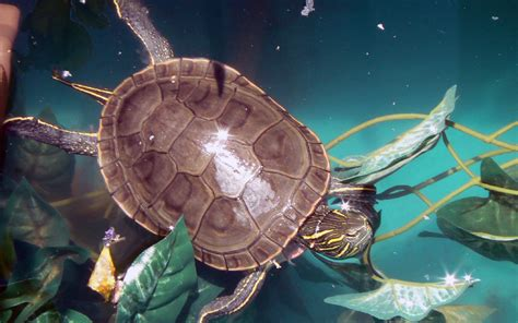 tartarughe in casa tartarughe d acqua dolce primi passi per tenerle in casa