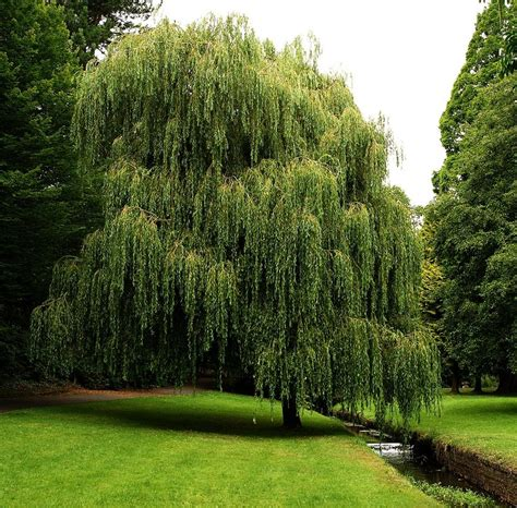 weeping trees weeping willow 3 by awjay on deviantart
