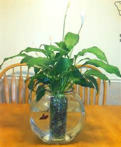 Peace lily plant/ betta fish :)Peace Lilies, Lilly Fish, Fish Filters