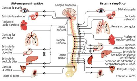 imagenes mentales involuntarias sistema endocrino en yoga