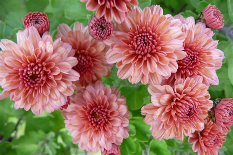 Homelife Plant Guide Chrysanthemums » Home Design 2017