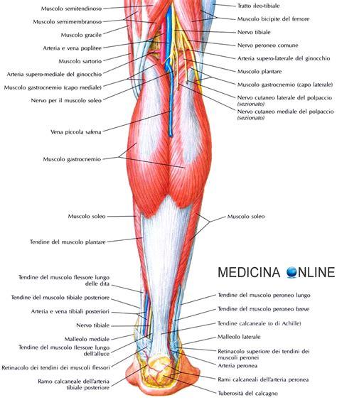 dolore ginocchio interno corsa muscolo soleo anatomia infiammazione dolore esercizi e