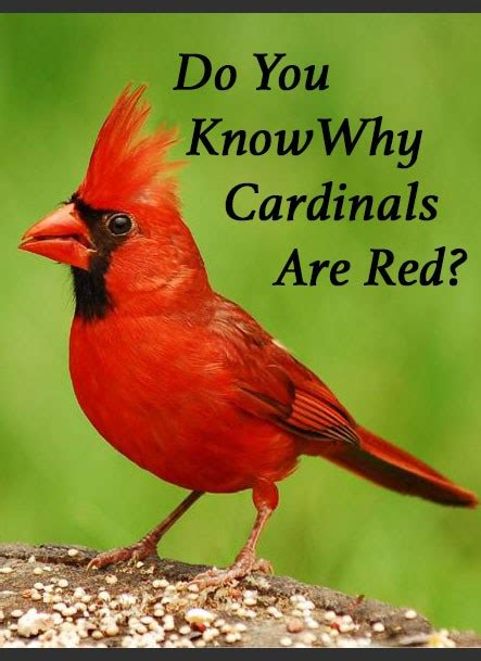 why are cardinals when is