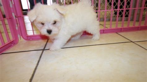 maltese puppies for sale in ga lovable tcup maltese puppies for sale in atlanta ga at puppies for sale local breeders