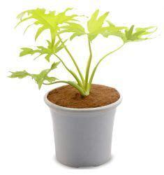 Tanaman Philodendron Xanadu split leaf philodendron monstera deliciosa interiors plant