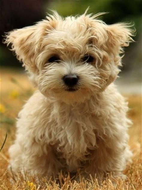 fuzzy puppies fuzzy puppy wallpaper iphone blackberry
