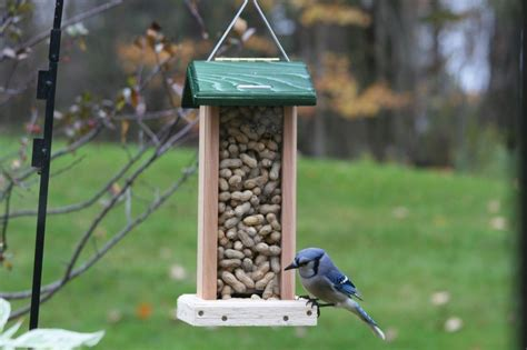 what do blue jays eat how to make homemade bird food