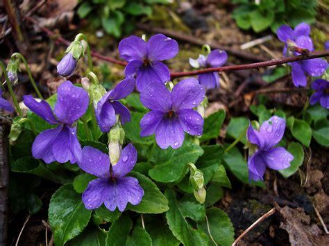 violet puppy common violet viola riviniana nen gallery