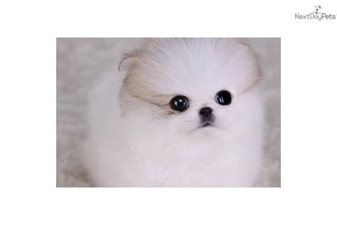 teacup pomeranian puppies for sale in chennai beautiful pomeranian puppy for new home breeds picture